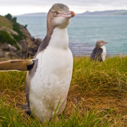 pingwin zoltooki