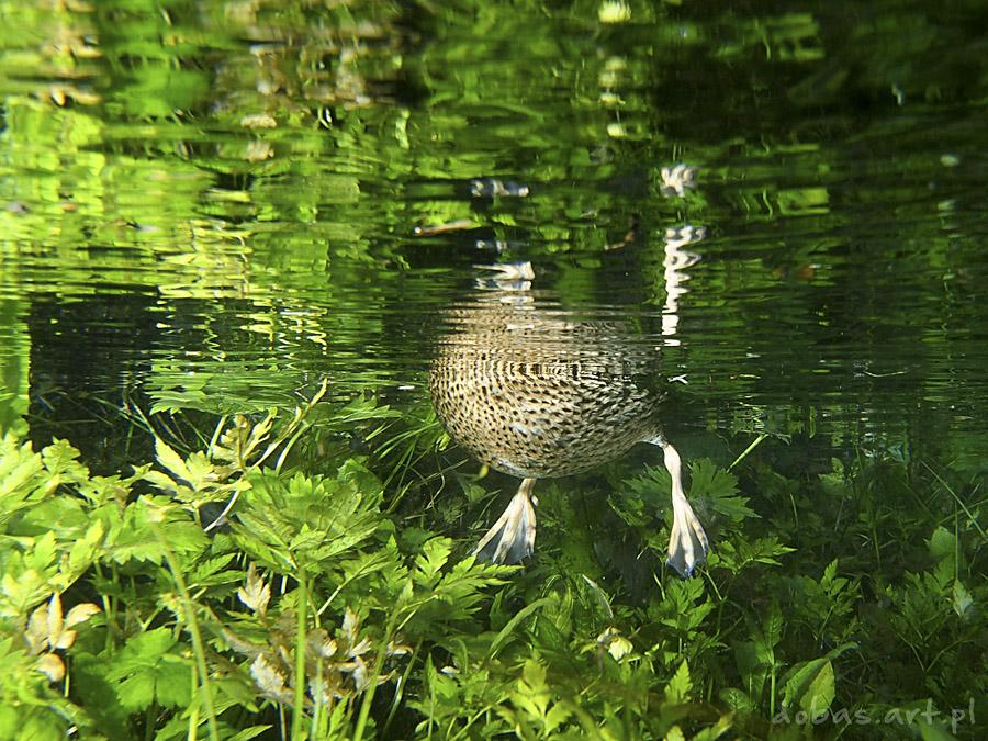 underwater duck marcin dobas