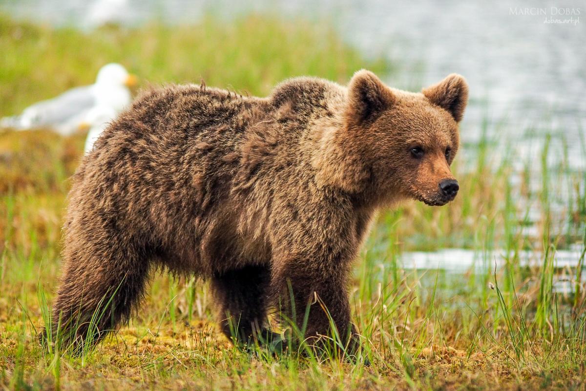 fotowyprawy niedźwiedzie i rosomaki Finlandia - Marcin Dobas