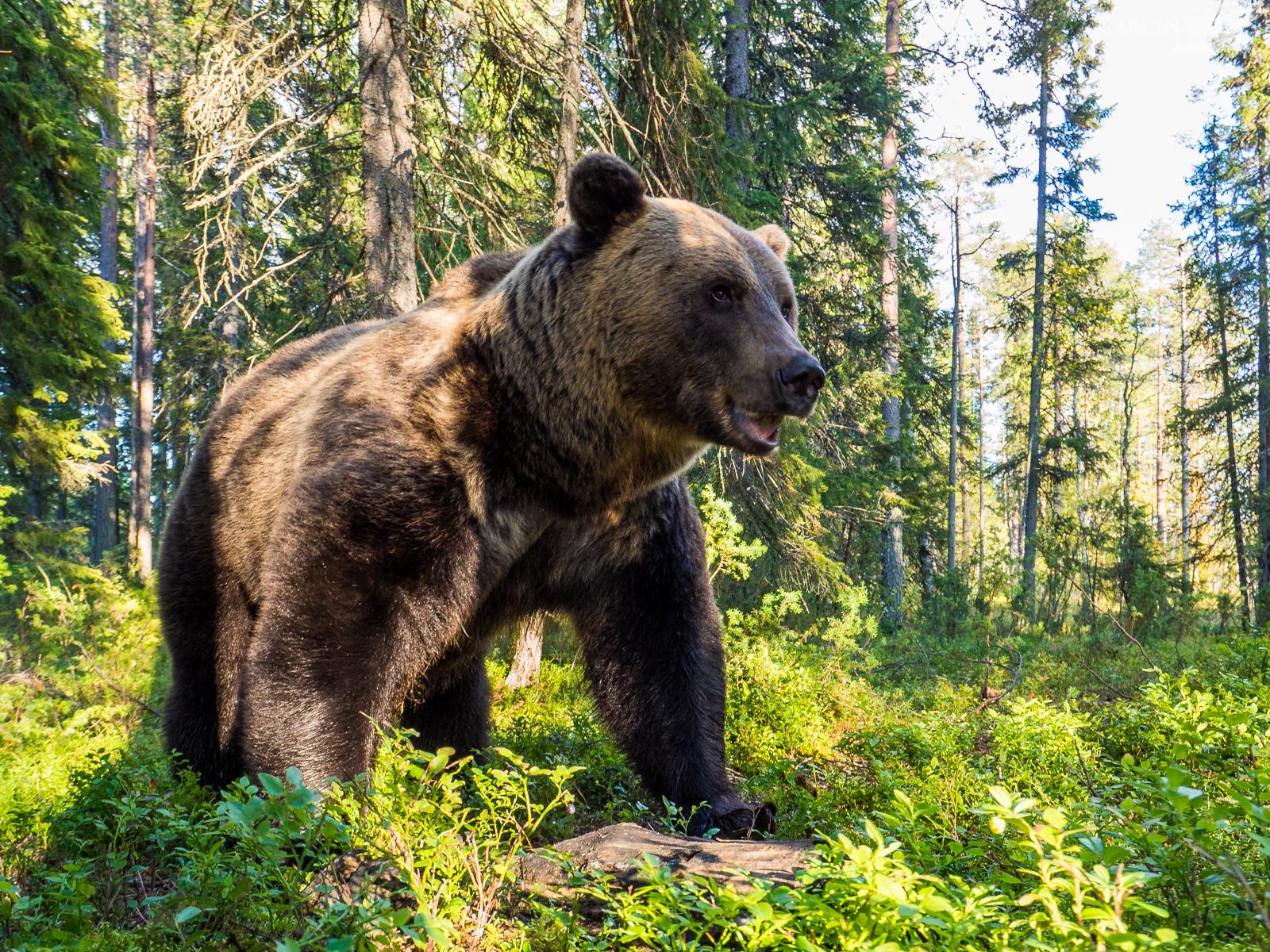 niedźwiedź brunatny - fotopułapki