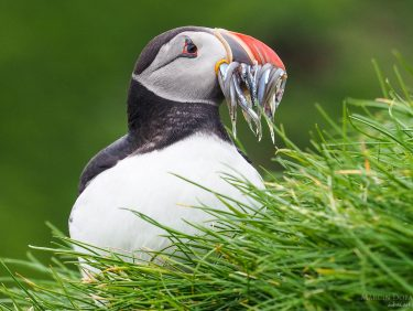 Puffin, Faroe Islands