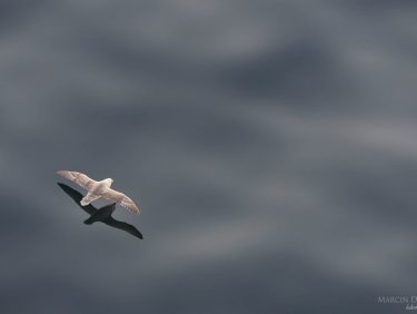 Fulmar flying over ocean surface, Faroe Islands