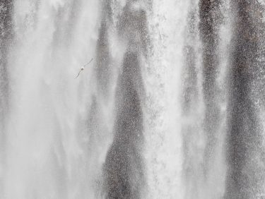 Gull flying past waterfalls in Iceland