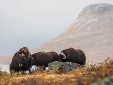 Muskox, Greenland