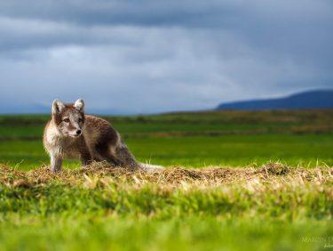 Arcit fox, Iceland