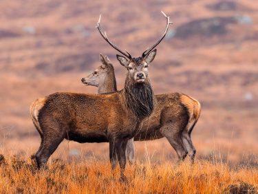 Deers, Scotland