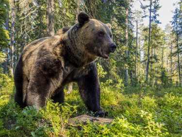 Brown bear, Finnish Karelia