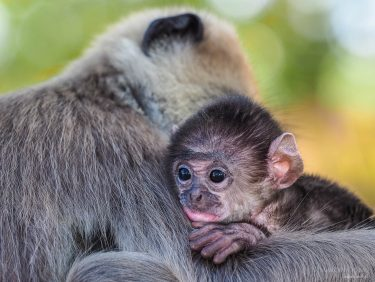 young monkey and its mother, Sri Lanka