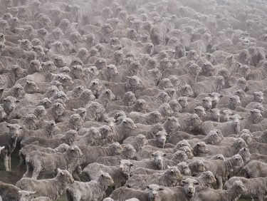 Flock of sheeps in Canterbury Region, New Zealand