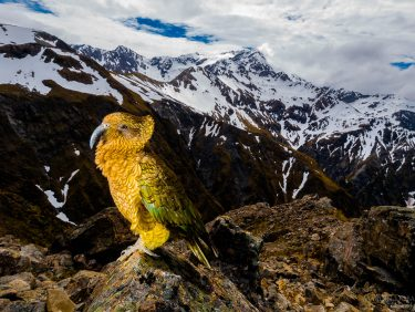 KEA - mountain parrot, New Zealand