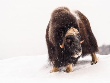 Musk-ox in Arctic  during wintertime, Norway