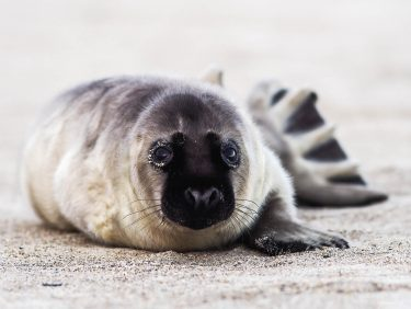 Grey seal puppy, North Sea