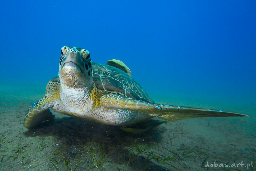Green Sea Turtle (Chelonia mydas) in Red Sea Egypt