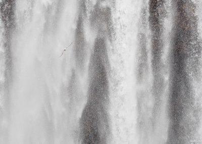 Fulmar flying past waterfalls in Iceland